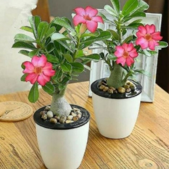 Jual Tanaman Kamboja Jepang Adenium Bunga Pink Pot Plastik Kota Depok Rajanya Taman Tokopedia