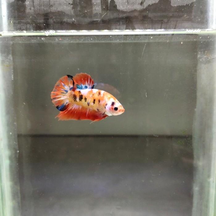 Jual Ikan Cupang Plakat Nemo Leopard Kab Tangerang Herowearsacap Tokopedia
