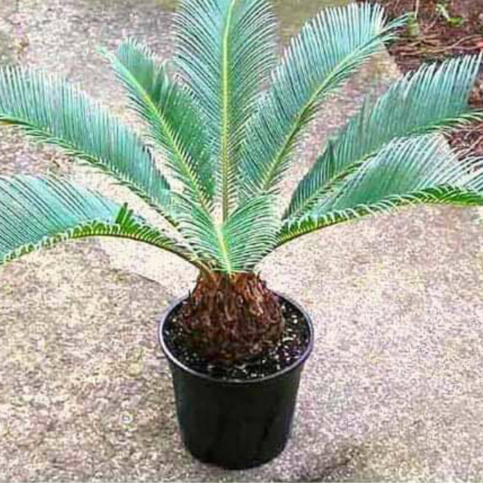 Jual Tanaman Hias Palem Siklas Pohon Hias Palem Siklas 20 30cm Kab Bogor Azamtaman Tokopedia