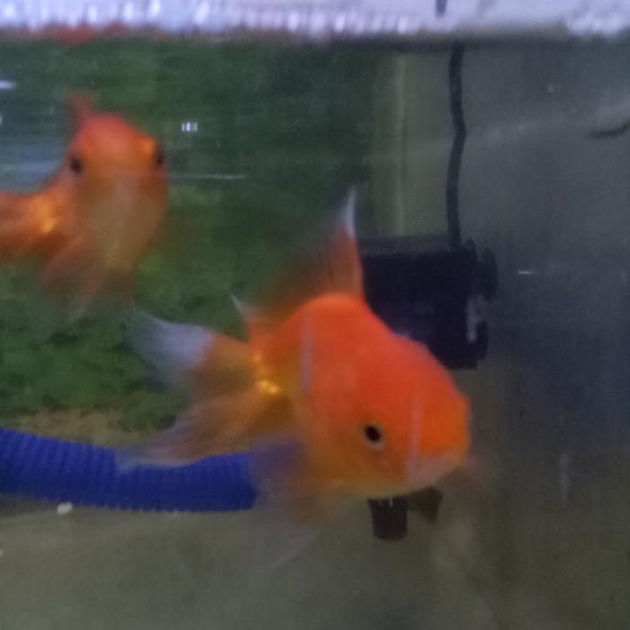 Jual Hiasan Aquarium Ikan Mas Koki Oranda Jakarta Timur Fjraquatic26 Tokopedia