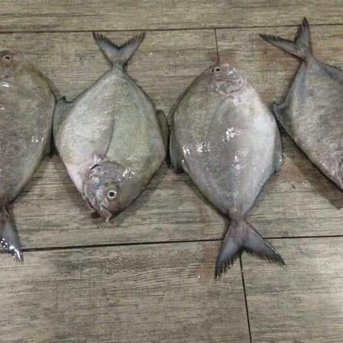 Jual Ikan Bawal Laut Fresh Segar 1kilogram Jakarta Selatan Ikan Makmur Tokopedia