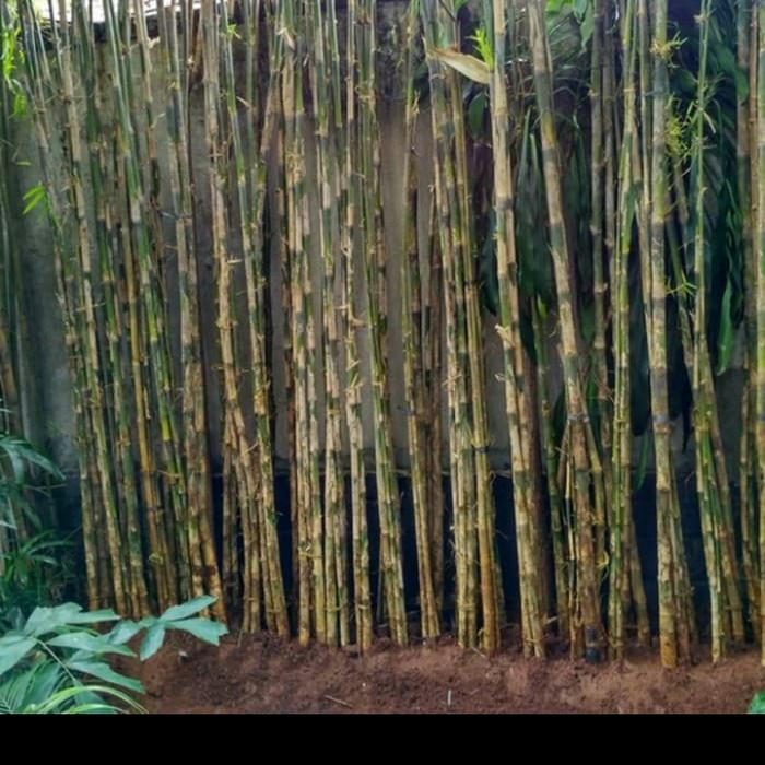 Jual Pohon Bambu Jepang Tanaman Hias Pagar Bambu Jepang Kota Depok Garden Berkah Tokopedia