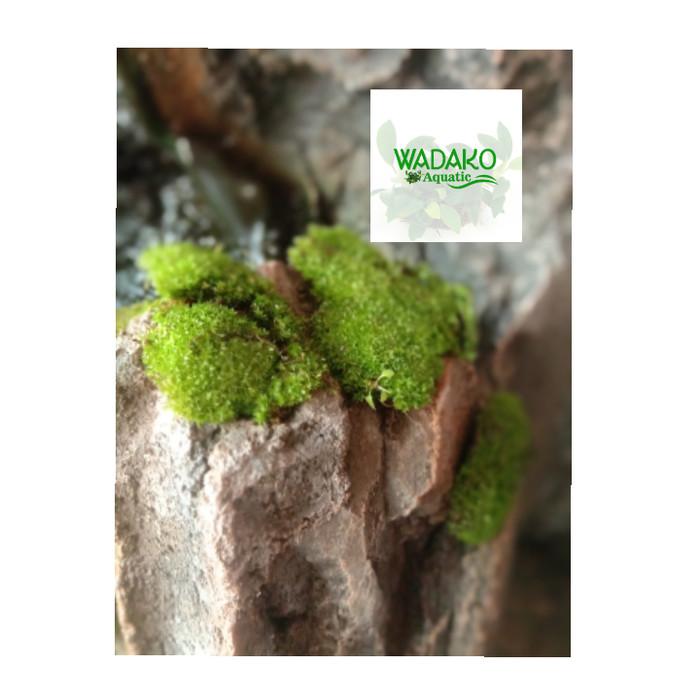 Jual Star Moss Clump Halus Per Mika Paludarium Aquascape Kota Bekasi Wadako Tokopedia