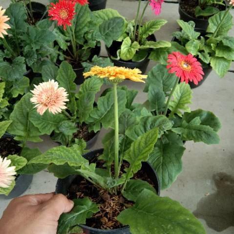 Jual Tanaman Hias Bunga Herbras Kota Malang Johnzty Florist Tokopedia