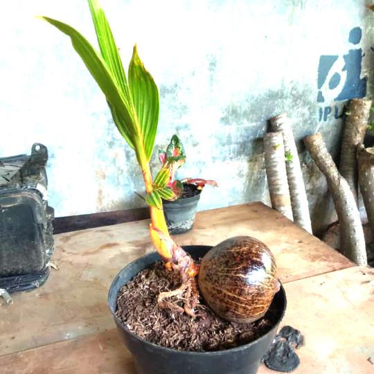 Jual Bonsai Kelapa Gading Unik Kab Bogor Umay Taman Tokopedia