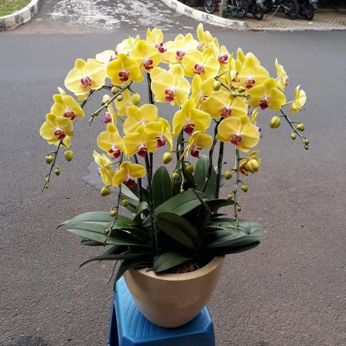 Jual Bunga Anggrek Bulan Kuning Super Bisa Untuk Semua Ucapan Segar Kuning Jakarta Selatan Bani Florist Tokopedia