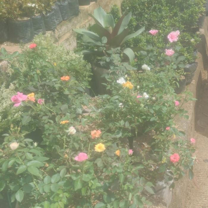 Jual Tanaman Bunga Ros Kab Bogor Enny Taman Tokopedia