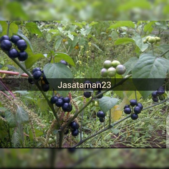 Jual Pohon Leunca Bibit Tanaman Pohon Leunca Pohon Leunca Super Kab Bogor Jasataman23 Tokopedia