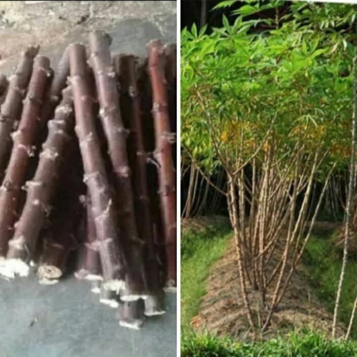 Jual Tanaman Singkong Keju Kab Bogor Taman Citayam Tokopedia
