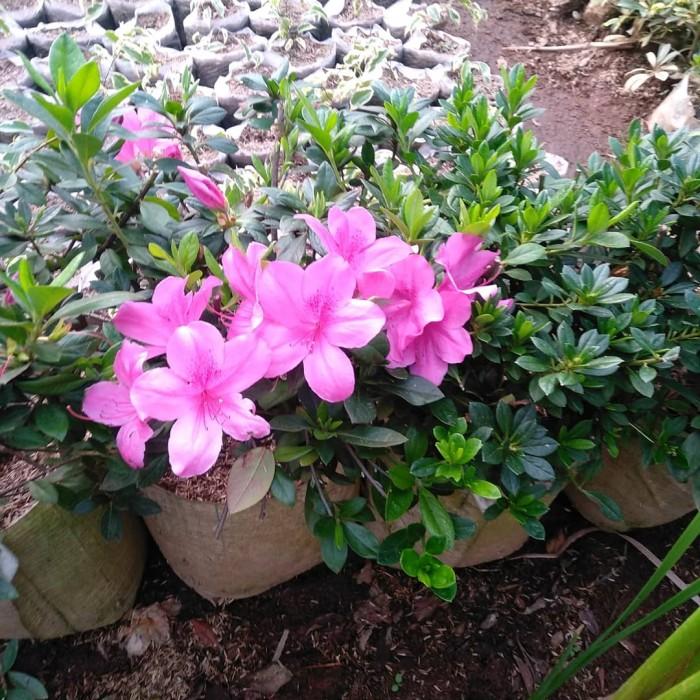 Jual Tanaman Hias Asaliah Benih Tanaman Bunga Cantik Tanaman Hias Taman Kab Bandung Barat Adeherbalstore Tokopedia