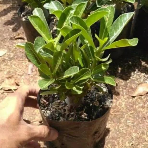 Jual Bibit Bunga Adenium Obesum Black King Tanaman Adenium Kab Bogor Cvrindualam Tokopedia