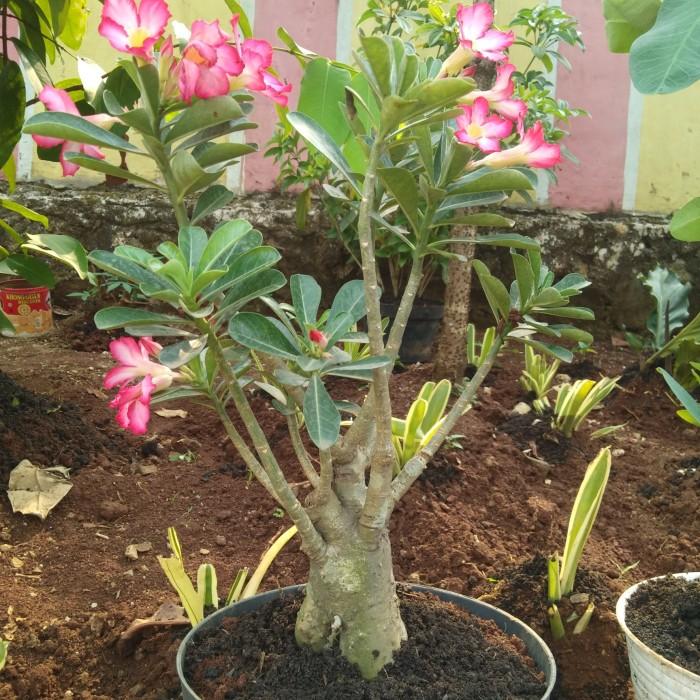 Jual Bunga Kamboja Kab Bogor Grande Taman Tokopedia