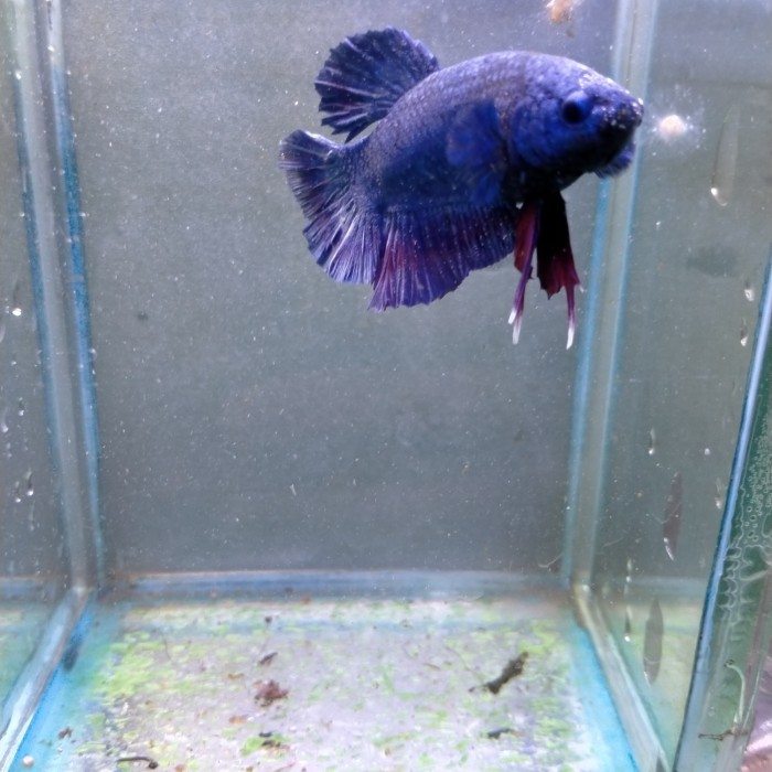 Jual Ikan Cupang Avatar Gordon Kota Bogor Alkidishop Tokopedia
