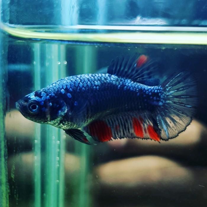 Jual Ikan Cupang Hias Avatar Fm Kab Deli Serdang Vm Tani Jaya Tokopedia