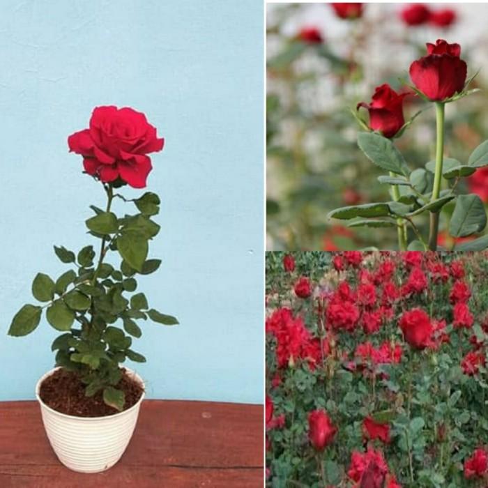 Jual Tanaman Hias Bunga Mawar Merah Kab Bandung Barat Ran Amiinah Tokopedia