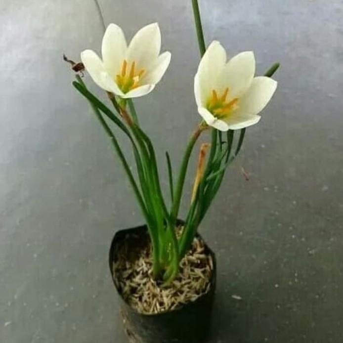 Jual Tanaman Hias Bunga Lili Hujan Putih Lili Air Hujan Putih Kab Bogor Taman Flower Tokopedia