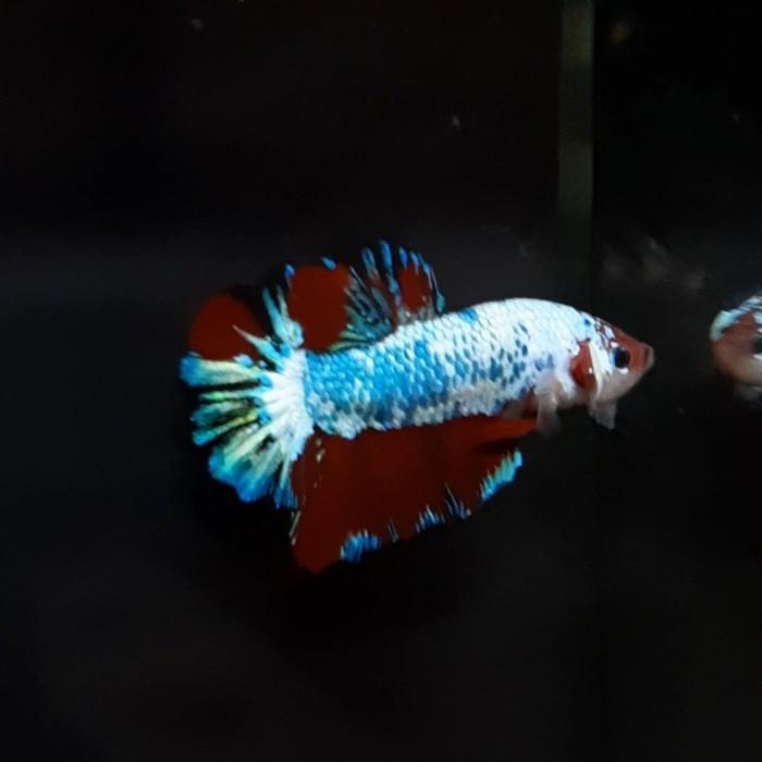 Jual Cupang Candy Multicolor Betta Fish Jakarta Timur Betta Engineer Tokopedia