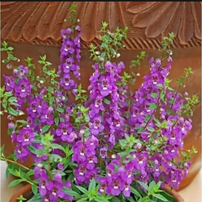 Jual Tanaman Lavender Anti Nyamuk Tanaman Hidup Bunga Lavender Kab Bogor Aksesorismotormf Tokopedia