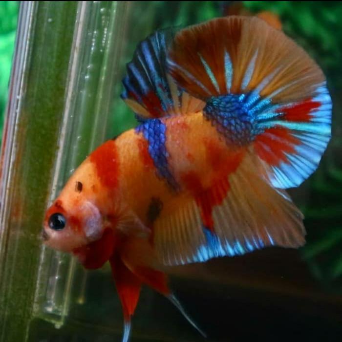 Jual Ikan Cupang Nemo Emerald Randoom Kab Bogor Betafishberkah Tokopedia