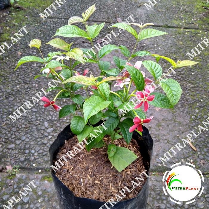 Jual Tanaman Hias Bunga Melati Belanda Bibit Pohon Bunga Thai Double Flower Kota Bogor Mitraplant Tokopedia