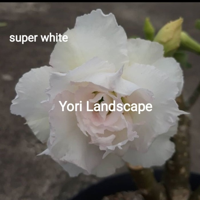 Jual Bibit Tanaman Adenium Kamboja Jepang Bunga Tumpuk Super White Kab Bogor Yori Landscape Tokopedia