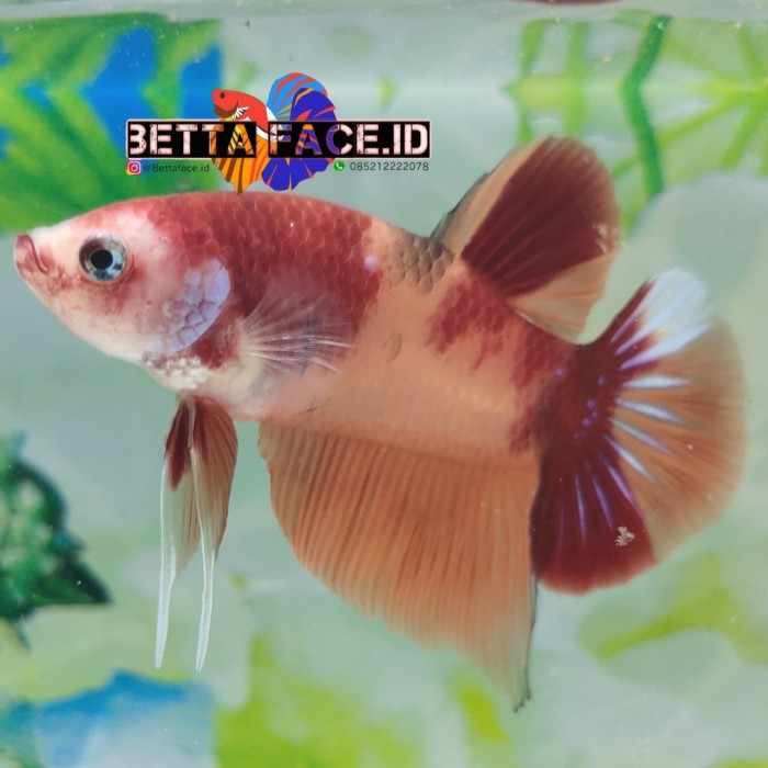 Jual Hiasan Aquarium Ikan Cupang Nemo Clasic Kab Karawang Bettafaceid Tokopedia