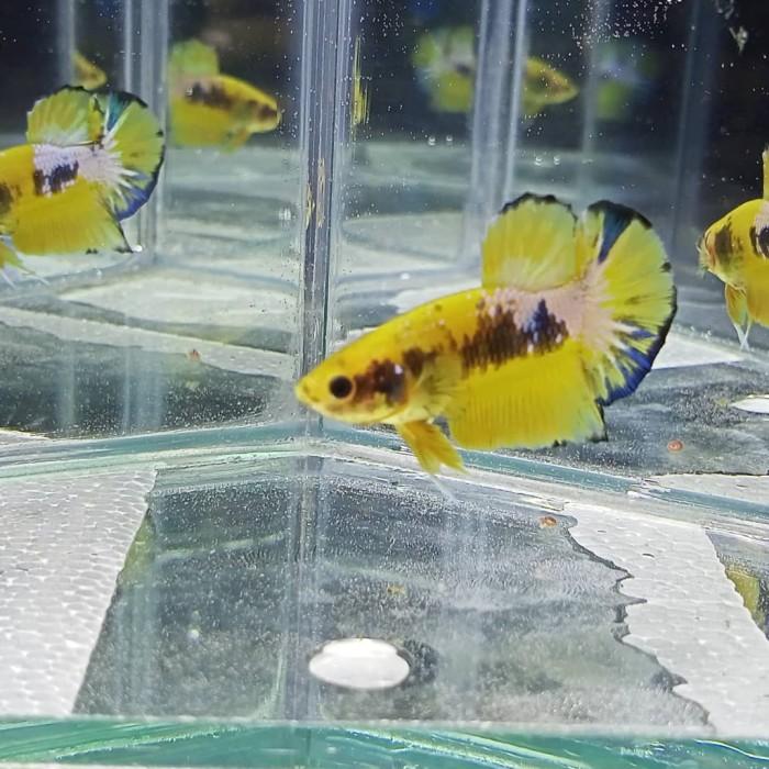 Jual Ikan Cupang Yellow Fancy Kab Bogor Masakbar13 Tokopedia