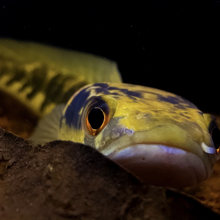 Jual Ikan Channa Yellow Sentarum Size 40cm Kab Bandung Exoticfish Tokopedia