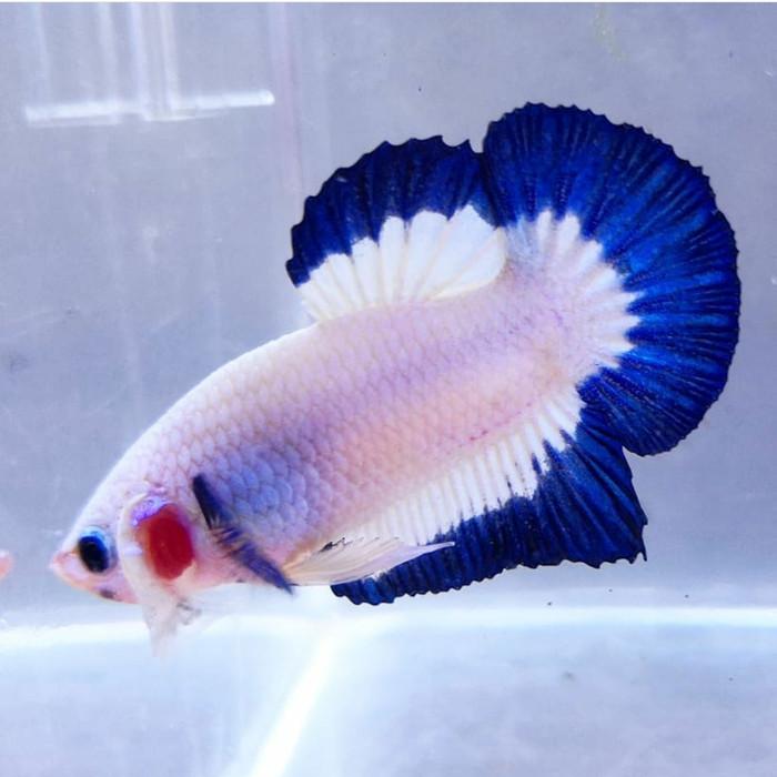 Jual Ikan Cupang Hias Blue Rim Top Grade Kab Bogor Betafishberkah Tokopedia