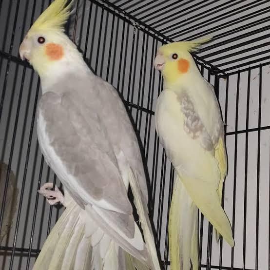 Gambar Burung Parkit Australia Retorika