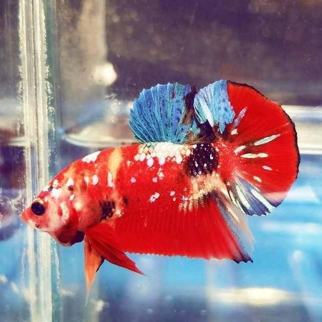 Jual Ikan Cupang Nemo Galaxy Kab Bogor Njuls Shop Tokopedia