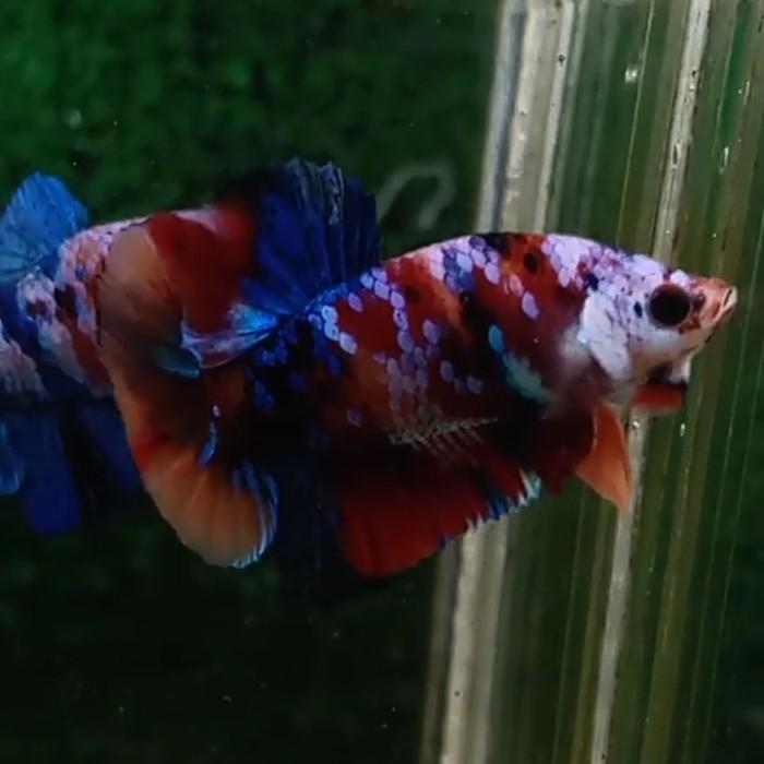 Jual Ikan Cupang Nemo Galaxy Multicolor Nemoxy Kota Bekasi The Fantastic Tokopedia