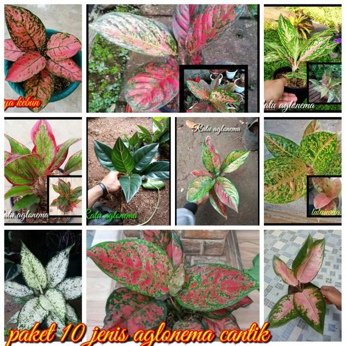 Jual Paket 10 Jenis Tanaman Hias Bunga Aglonema Kota Metro Griya Kebun Tokopedia