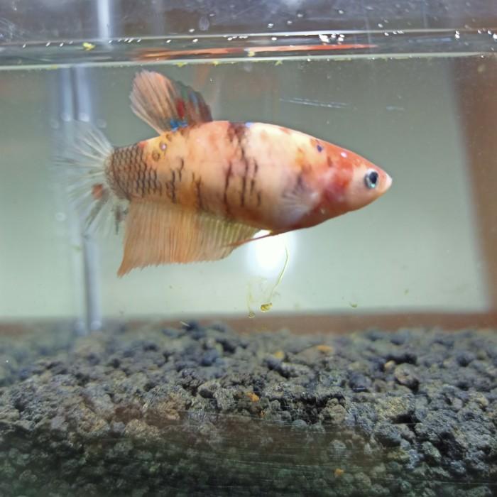 Jual Female Nemo Jumbo Kota Bogor Ikan Cupang Hias Nemo Tokopedia