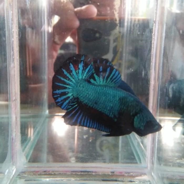 Jual Ikan Cupang Line Avatar Male Kota Madiun Keysha Betta Fish Tokopedia