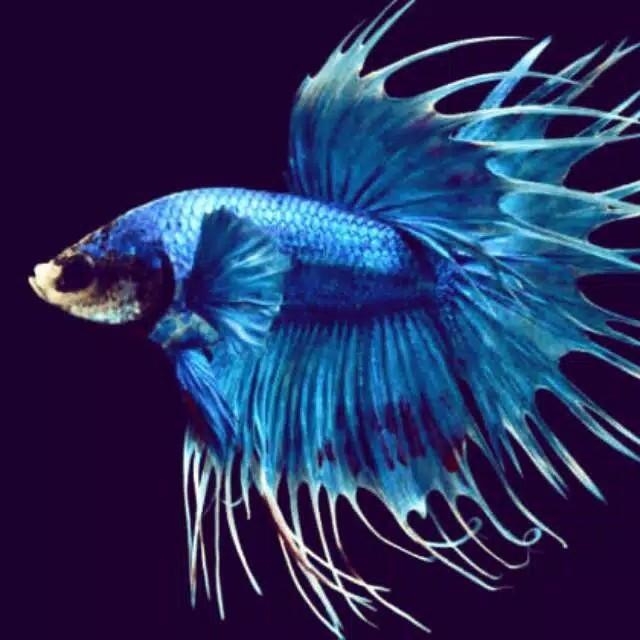 Jual Ikan Cupang Serit Warna Size M Kota Tangerang Kicau Bird Tokopedia