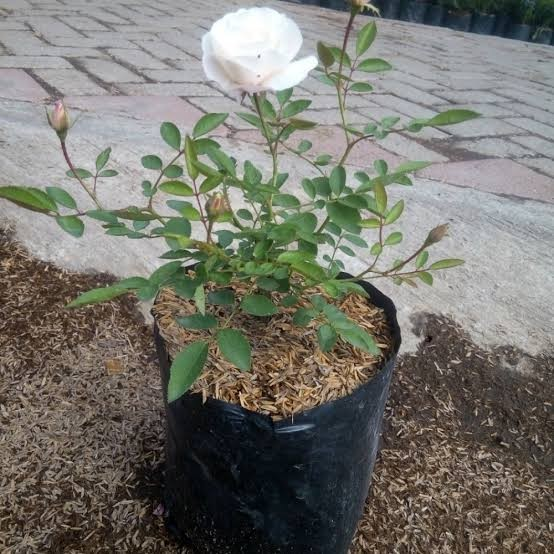 Jual Bibit Bunga Mawar Putih Tanaman Hias Mawar Putih Sudah Berbunga Kab Bogor Barayatani Tokopedia