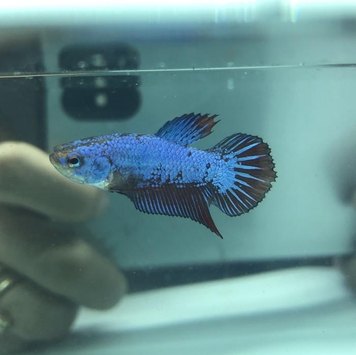 Jual Ikan Cupang Avatar Kota Bekasi Shauladaffa Store Tokopedia
