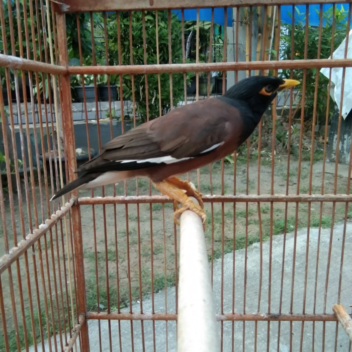 Gambar Burung Jalak Nias Bonus
