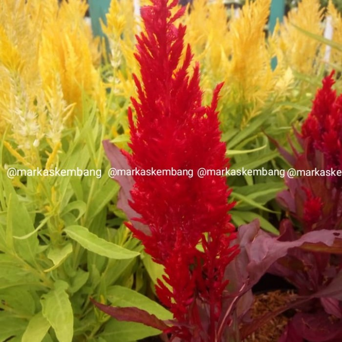 Jual Tanaman Hias Bunga Celosia Red Bunga Jengger Ayam Merah Kab Bandung Barat Markas Kembang Tokopedia
