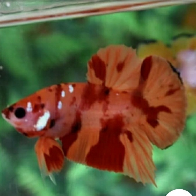 Jual Ikan Cupang Jenis Nemo Koi Kota Tangerang Selatan Eggy Fish Farm Tokopedia