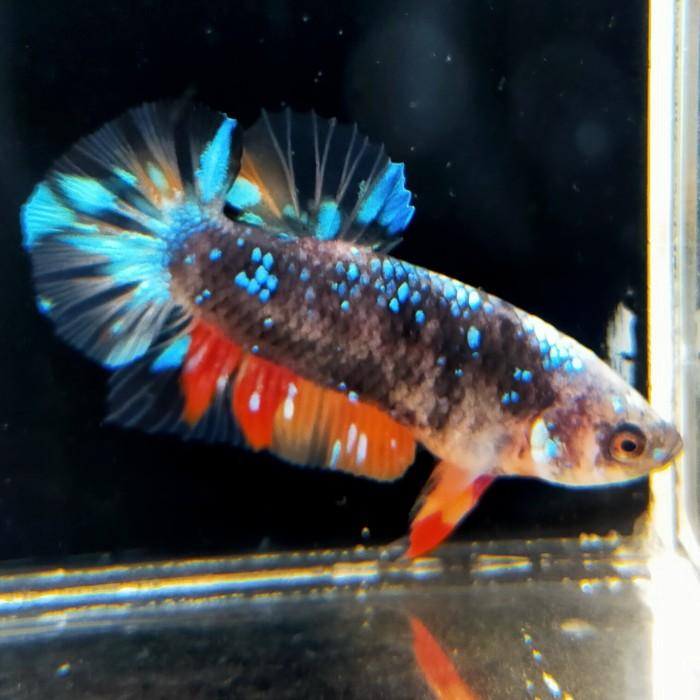 Jual Ikan Cupang Avatar Nemo Jantan Plakat Kota Tangerang Griyabetta Tokopedia