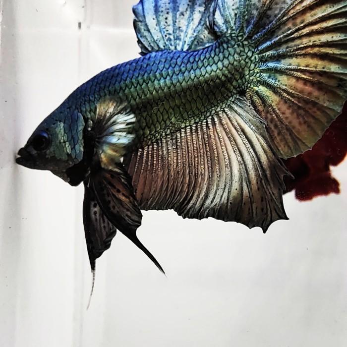 Jual Ikan Cupang Cooper Jakarta Utara Die S Farm Tokopedia