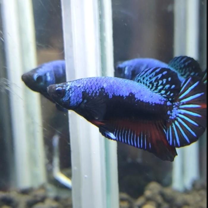 Jual Ikan Hias Cupang Avatar Gordon Vampire Top Grade Mutasi Size M Reallll Jakarta Timur Denzbetta Tokopedia