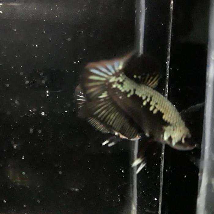 Jual Ikan Cupang Black Samurai Kota Palembang Fathan Aquatic Tokopedia