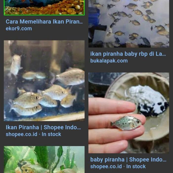 Jual Ikan Piranha Baby Kota Bandar Lampung Oke Aqua Tokopedia