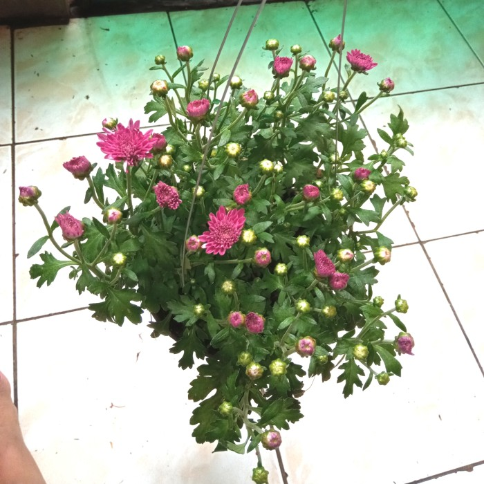 Jual Tanaman Bunga Aster Ungu Cantik Jakarta Timur Anastasiamyvrcase Tokopedia