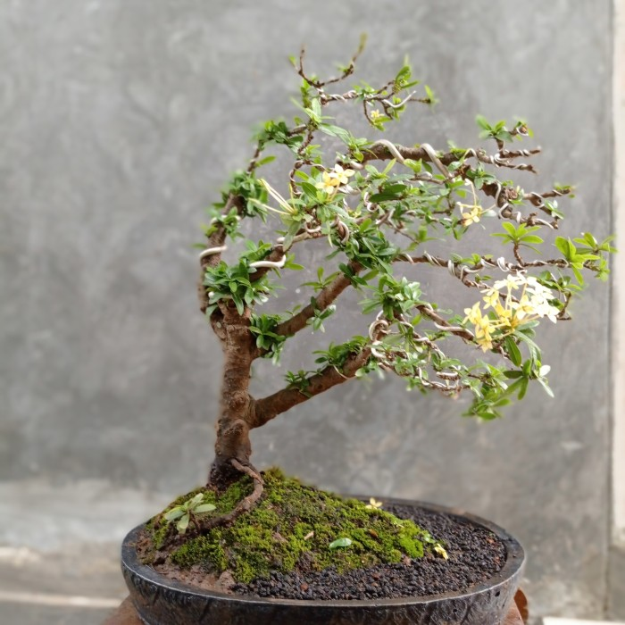 Jual Bonsai Bunga Asoka Batang Besar Bagus Cantik Harga Murah Kab Banyumas Rsp Shop Tokopedia