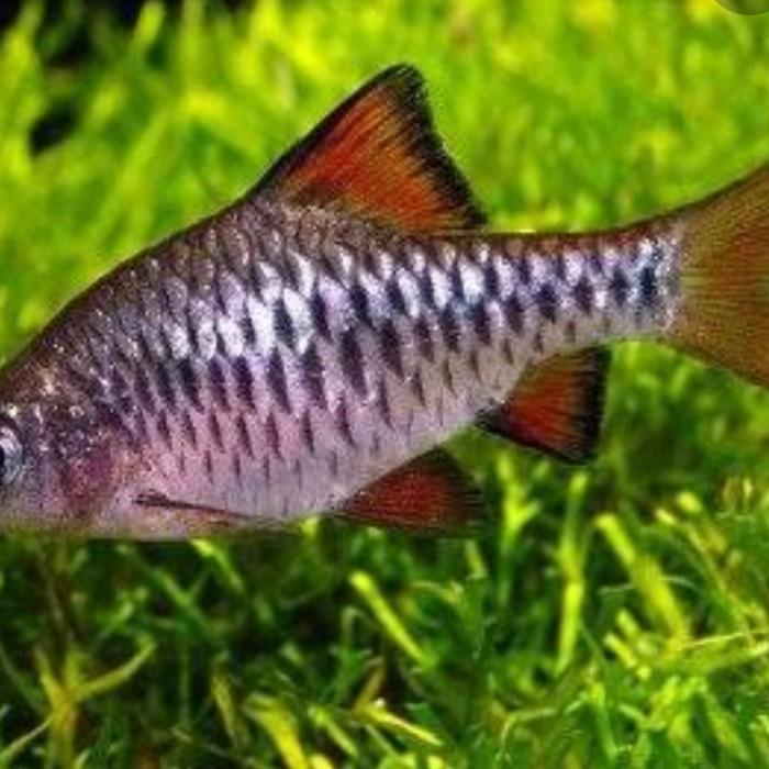 Jual Ikan Hias Checker Barb Kota Tangerang Light Aquascape Tokopedia