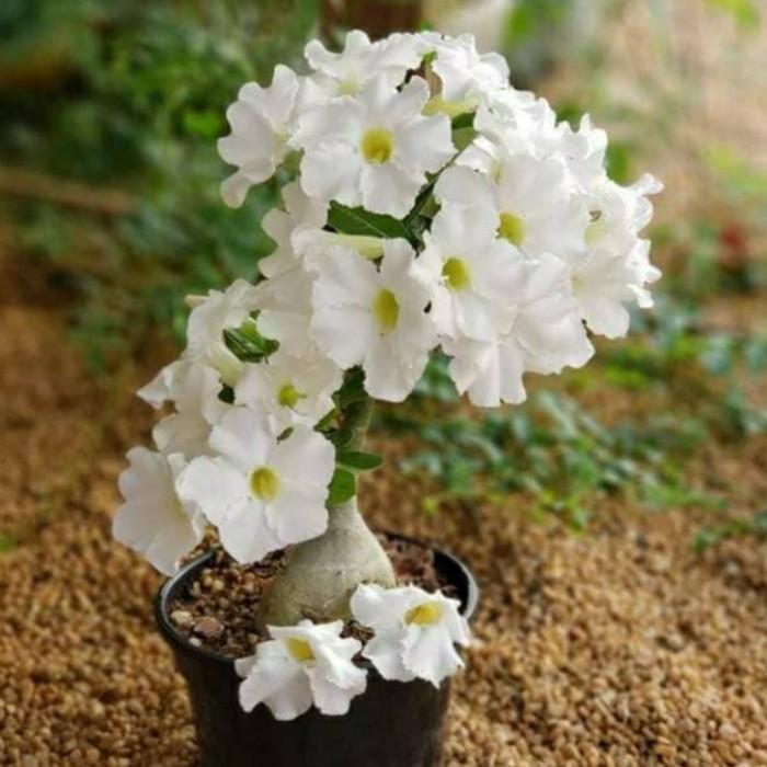 Jual Tanaman Hias Bunga Adenium Putih Bunga Kamboja Jepang Kab Bogor Sakura Tanaman Tokopedia
